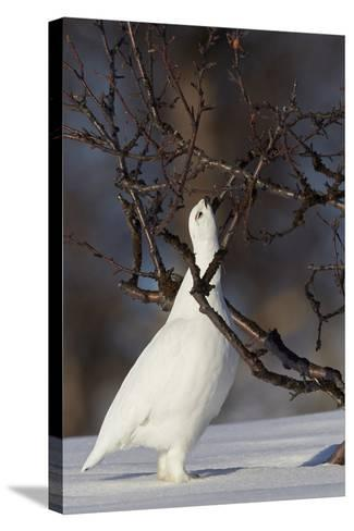 Willow Grouse - Ptarmigan (Lagopus Lagopus) Pecking Twig, Utsjoki, Finland, April-Markus Varesvuo-Stretched Canvas Print