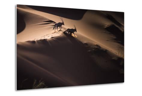Gemsbok (Oryx Gazella) Two Walking across Sand Dunes, Aerial View. Namibia-Wim van den Heever-Metal Print
