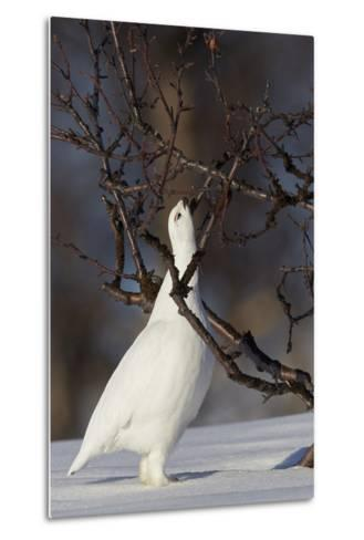 Willow Grouse - Ptarmigan (Lagopus Lagopus) Pecking Twig, Utsjoki, Finland, April-Markus Varesvuo-Metal Print