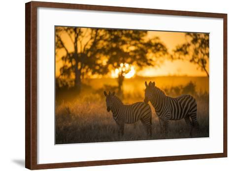 Plains Zebra (Equus Quagga) at Sunset, Savuti Marsh, Botswana-Wim van den Heever-Framed Art Print