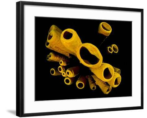 Yellow Tube Sponges (Aplysina Fistularis) Growing on a Caribbean Coral Reef-Alex Mustard-Framed Art Print