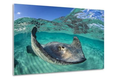 Split Level Image of a Southern Stingray (Dasyatis Americana) Swimming over a Sand Bar-Alex Mustard-Metal Print