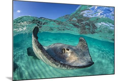 Split Level Image of a Southern Stingray (Dasyatis Americana) Swimming over a Sand Bar-Alex Mustard-Mounted Photographic Print