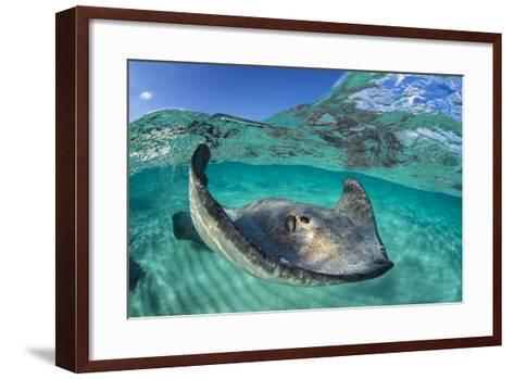 Split Level Image of a Southern Stingray (Dasyatis Americana) Swimming over a Sand Bar-Alex Mustard-Framed Art Print