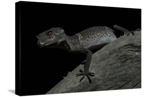 Pingxiang Cave Gecko (Goniurosaurus Luii) Clinging to Tree Trunk with Strong Red Eyes-Shibai Xiao-Stretched Canvas Print