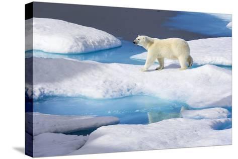 Young Polar Bear (Ursus Maritimus) Walking across Melting Sea Ice-Brent Stephenson-Stretched Canvas Print