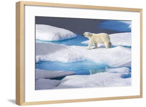 Young Polar Bear (Ursus Maritimus) Walking across Melting Sea Ice-Brent Stephenson-Framed Art Print