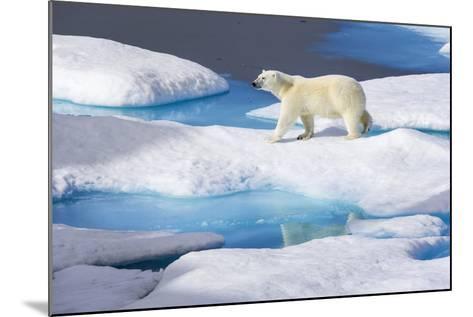 Young Polar Bear (Ursus Maritimus) Walking across Melting Sea Ice-Brent Stephenson-Mounted Photographic Print