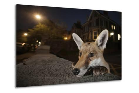 Young Urban Red Fox (Vulpes Vulpes) Poking its Head Up over a Wall. Bristol, UK, August-Sam Hobson-Metal Print