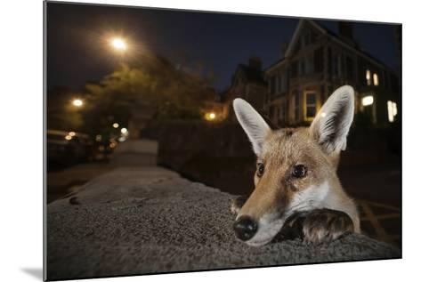 Young Urban Red Fox (Vulpes Vulpes) Poking its Head Up over a Wall. Bristol, UK, August-Sam Hobson-Mounted Photographic Print