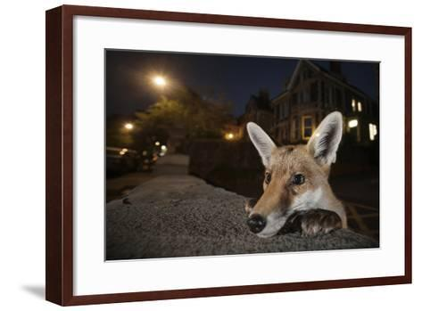 Young Urban Red Fox (Vulpes Vulpes) Poking its Head Up over a Wall. Bristol, UK, August-Sam Hobson-Framed Art Print