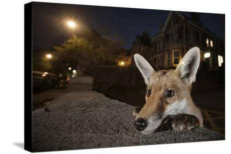 Young Urban Red Fox (Vulpes Vulpes) Poking its Head Up over a Wall. Bristol, UK, August-Sam Hobson-Stretched Canvas Print