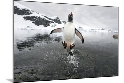 Gentoo Penguin (Pygoscelis Papua) Jumping Out of the Sea-Ben Cranke-Mounted Photographic Print