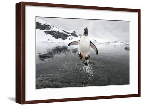 Gentoo Penguin (Pygoscelis Papua) Jumping Out of the Sea-Ben Cranke-Framed Art Print
