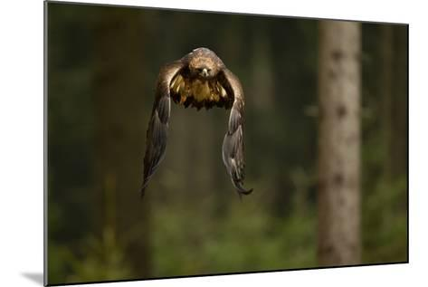 Golden Eagle (Aquila Chrysaetos) Flying Through Forest, Czech Republic, November. Captive-Ben Hall-Mounted Photographic Print
