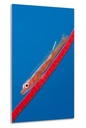 Large Whip Goby (Bryaninops Amplus) with a Parasitic Copepod-Alex Mustard-Metal Print