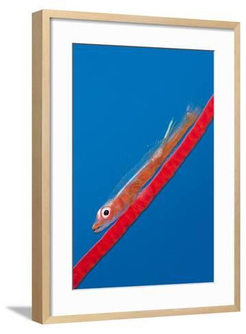 Large Whip Goby (Bryaninops Amplus) with a Parasitic Copepod-Alex Mustard-Framed Art Print