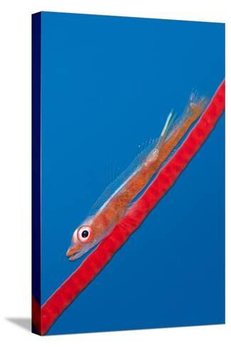 Large Whip Goby (Bryaninops Amplus) with a Parasitic Copepod-Alex Mustard-Stretched Canvas Print