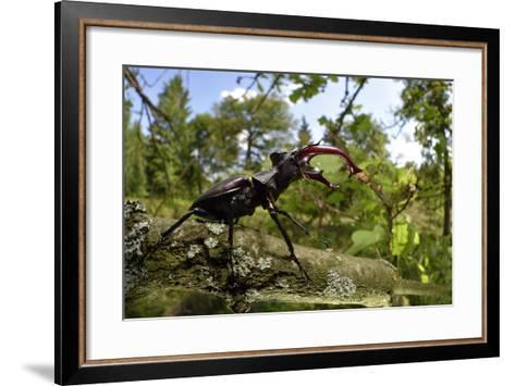 Stag Beetle (Lucanus Cervus) Male on Oak Tree. Elbe, Germany, June-Solvin Zankl-Framed Art Print