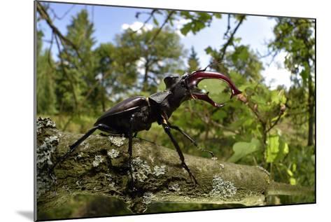 Stag Beetle (Lucanus Cervus) Male on Oak Tree. Elbe, Germany, June-Solvin Zankl-Mounted Photographic Print