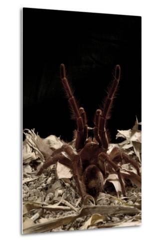 Goliath Bird-Eating Spider (Theraphosa Leblondii - Blondi) Aggressive Display-Daniel Heuclin-Metal Print