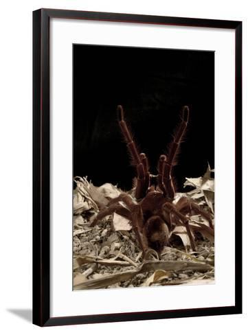 Goliath Bird-Eating Spider (Theraphosa Leblondii - Blondi) Aggressive Display-Daniel Heuclin-Framed Art Print