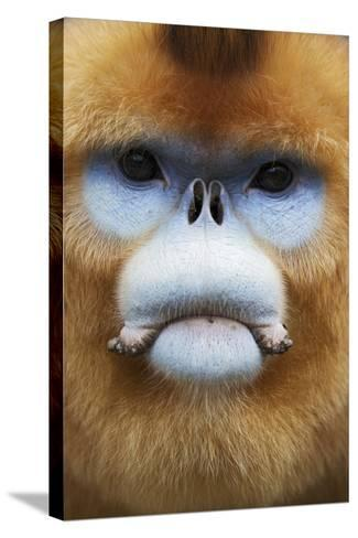 Golden Snub-Nosed Monkey (Rhinopithecus Roxellana Qinlingensis) Adult Male Portrait-Florian Möllers-Stretched Canvas Print
