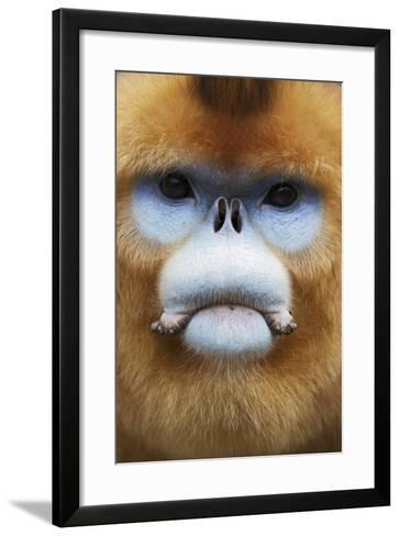 Golden Snub-Nosed Monkey (Rhinopithecus Roxellana Qinlingensis) Adult Male Portrait-Florian Möllers-Framed Art Print