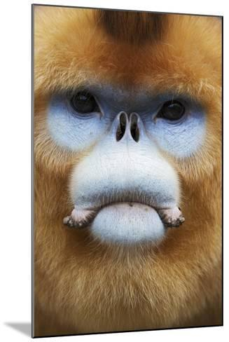 Golden Snub-Nosed Monkey (Rhinopithecus Roxellana Qinlingensis) Adult Male Portrait-Florian Möllers-Mounted Photographic Print