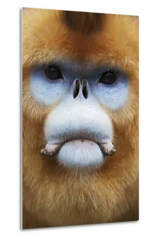 Golden Snub-Nosed Monkey (Rhinopithecus Roxellana Qinlingensis) Adult Male Portrait-Florian Möllers-Metal Print
