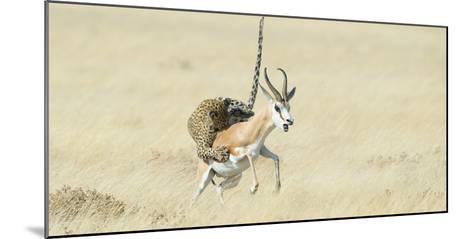 Leopard (Panthera Pardus) Hunting Springbok (Antidorcas Marsupialis) Etosha-Wim van den Heever-Mounted Photographic Print