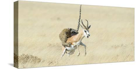Leopard (Panthera Pardus) Hunting Springbok (Antidorcas Marsupialis) Etosha-Wim van den Heever-Stretched Canvas Print