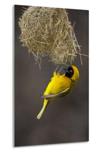 Lesser Masked Weaver (Ploceus Intermedius) Male at Nest Entrance-Neil Aldridge-Metal Print