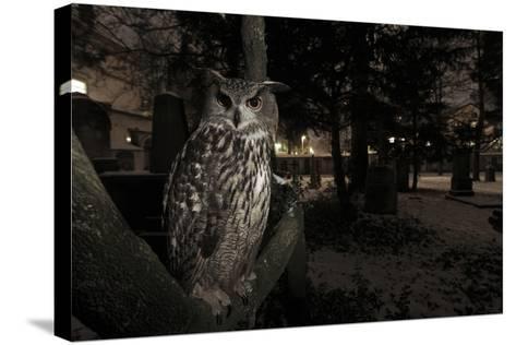 Portrait of Eagle Owl (Bubo Bubo) in Tree at Dusk. Freiburg Im Breisgau, Germany, January-Klaus Echle-Stretched Canvas Print
