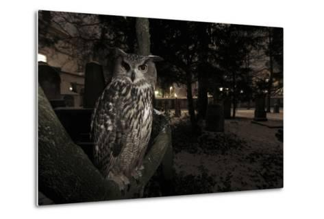 Portrait of Eagle Owl (Bubo Bubo) in Tree at Dusk. Freiburg Im Breisgau, Germany, January-Klaus Echle-Metal Print