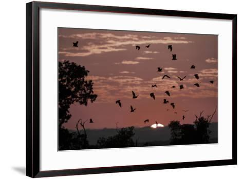 Straw-Coloured Fruit Bats (Eidolon Helvum) Returning to Daytime Roost at Sunrise-Nick Garbutt-Framed Art Print