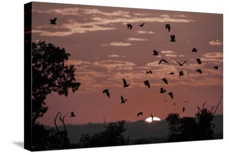 Straw-Coloured Fruit Bats (Eidolon Helvum) Returning to Daytime Roost at Sunrise-Nick Garbutt-Stretched Canvas Print