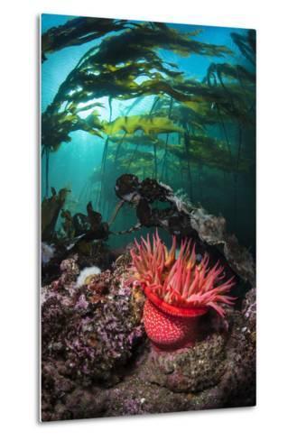 Strawberry Anemone (Utricina Lofotensis) Grows Beneath Bull Kelp Forest (Nereocystis Luetkeana)-Alex Mustard-Metal Print