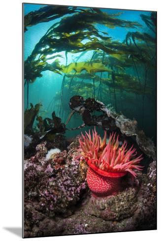 Strawberry Anemone (Utricina Lofotensis) Grows Beneath Bull Kelp Forest (Nereocystis Luetkeana)-Alex Mustard-Mounted Photographic Print
