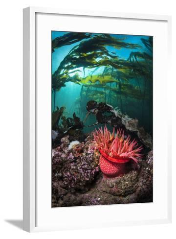 Strawberry Anemone (Utricina Lofotensis) Grows Beneath Bull Kelp Forest (Nereocystis Luetkeana)-Alex Mustard-Framed Art Print