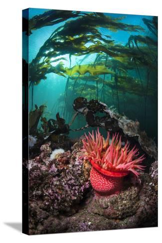 Strawberry Anemone (Utricina Lofotensis) Grows Beneath Bull Kelp Forest (Nereocystis Luetkeana)-Alex Mustard-Stretched Canvas Print