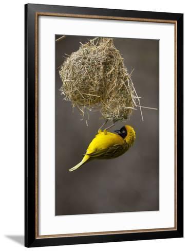 Lesser Masked Weaver (Ploceus Intermedius) Male at Nest Entrance-Neil Aldridge-Framed Art Print