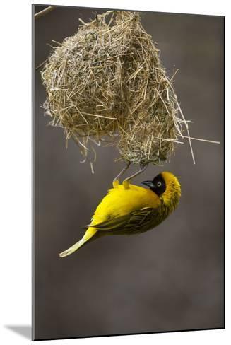Lesser Masked Weaver (Ploceus Intermedius) Male at Nest Entrance-Neil Aldridge-Mounted Photographic Print
