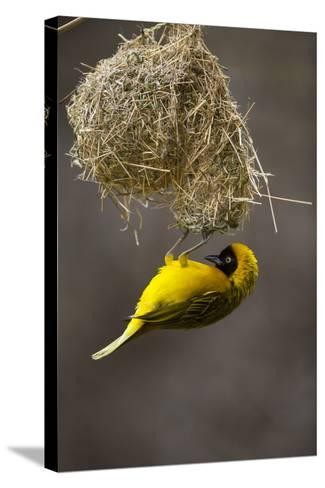Lesser Masked Weaver (Ploceus Intermedius) Male at Nest Entrance-Neil Aldridge-Stretched Canvas Print