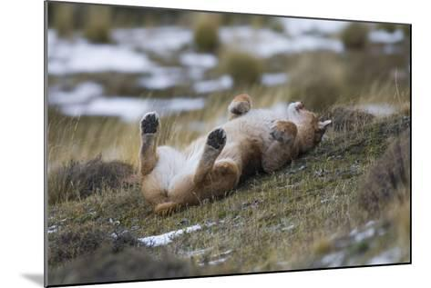 Puma (Puma Concolor) Rolling on Back, Torres Del Paine National Park, Chile, June-Gabriel Rojo-Mounted Photographic Print