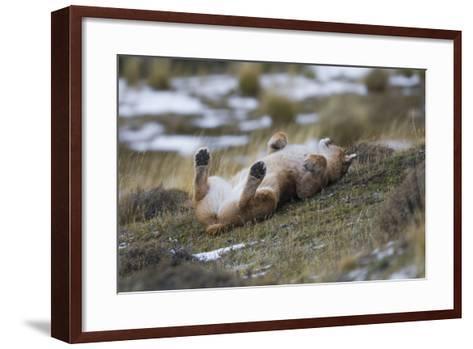 Puma (Puma Concolor) Rolling on Back, Torres Del Paine National Park, Chile, June-Gabriel Rojo-Framed Art Print