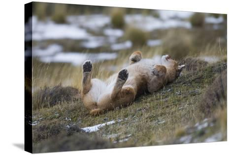 Puma (Puma Concolor) Rolling on Back, Torres Del Paine National Park, Chile, June-Gabriel Rojo-Stretched Canvas Print
