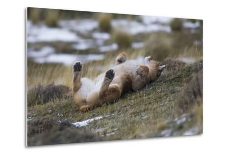 Puma (Puma Concolor) Rolling on Back, Torres Del Paine National Park, Chile, June-Gabriel Rojo-Metal Print
