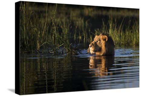Lion (Panthera Leo) Swimming, Okavango Delta, Botswana-Wim van den Heever-Stretched Canvas Print