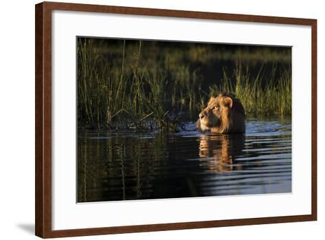 Lion (Panthera Leo) Swimming, Okavango Delta, Botswana-Wim van den Heever-Framed Art Print